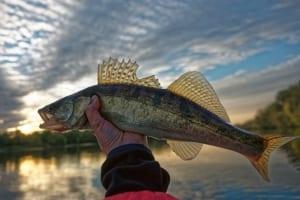 Walleye fish.